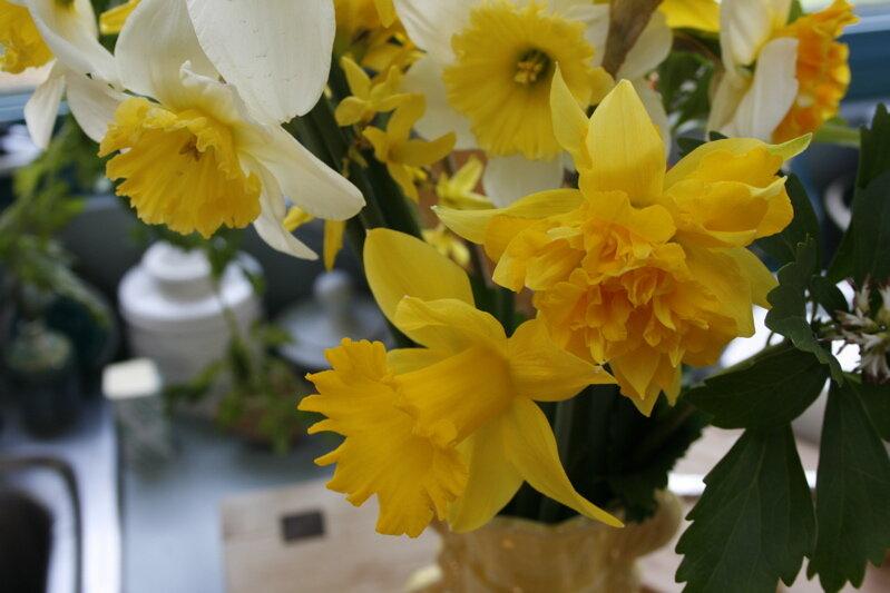 daffodil4