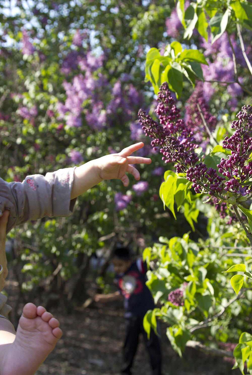 lilacs| reading my tea leaves