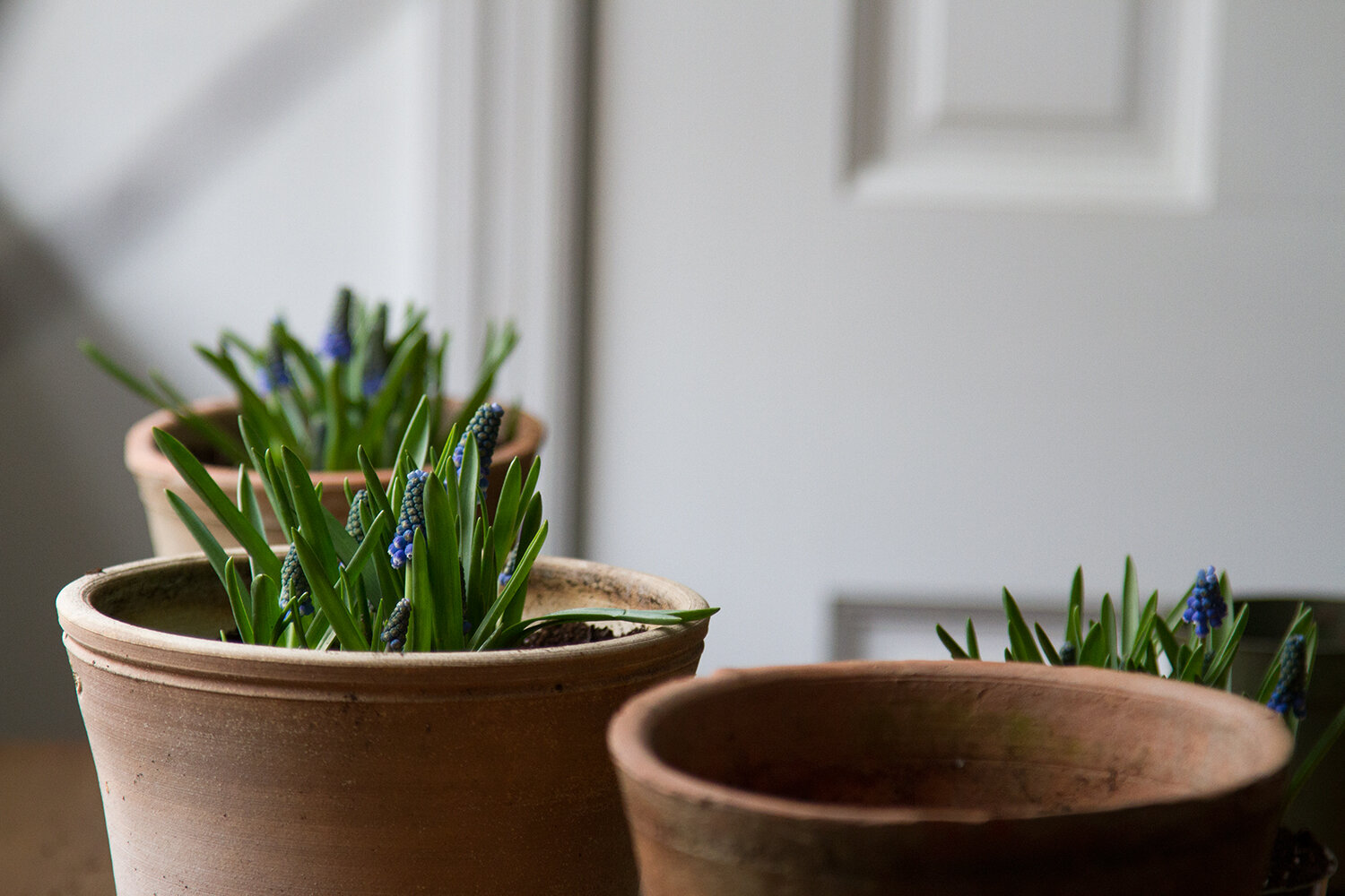 springtime muscari | reading my tea leaves