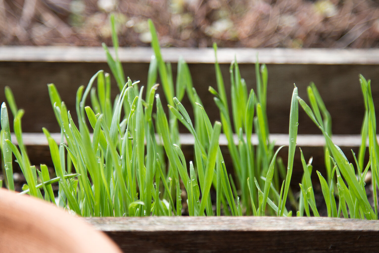 wheat_grass_reading_my_tea_leaves_IMG_7812