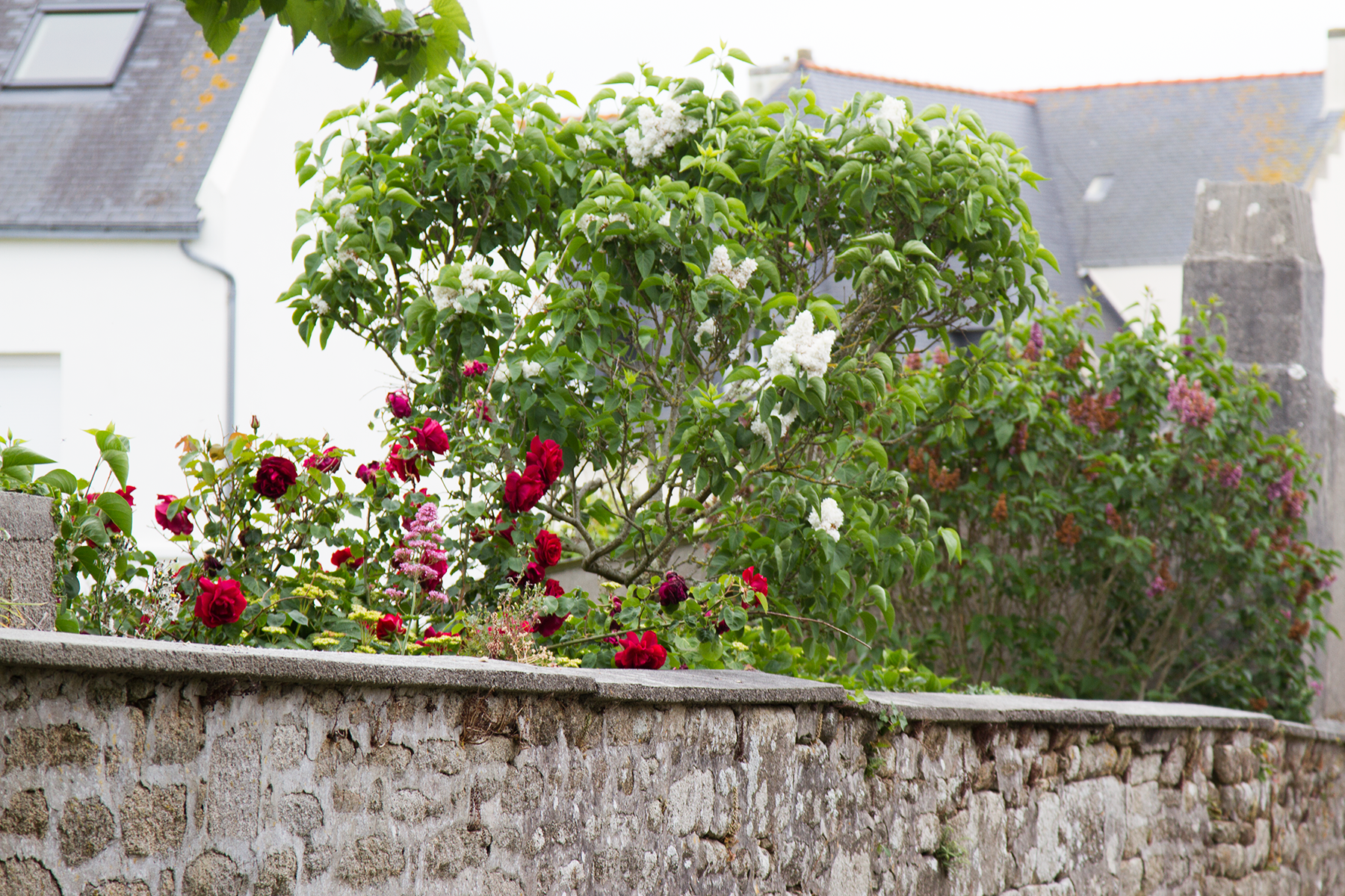 roses_wall_reading_my_tea_leaves_IMG_0469