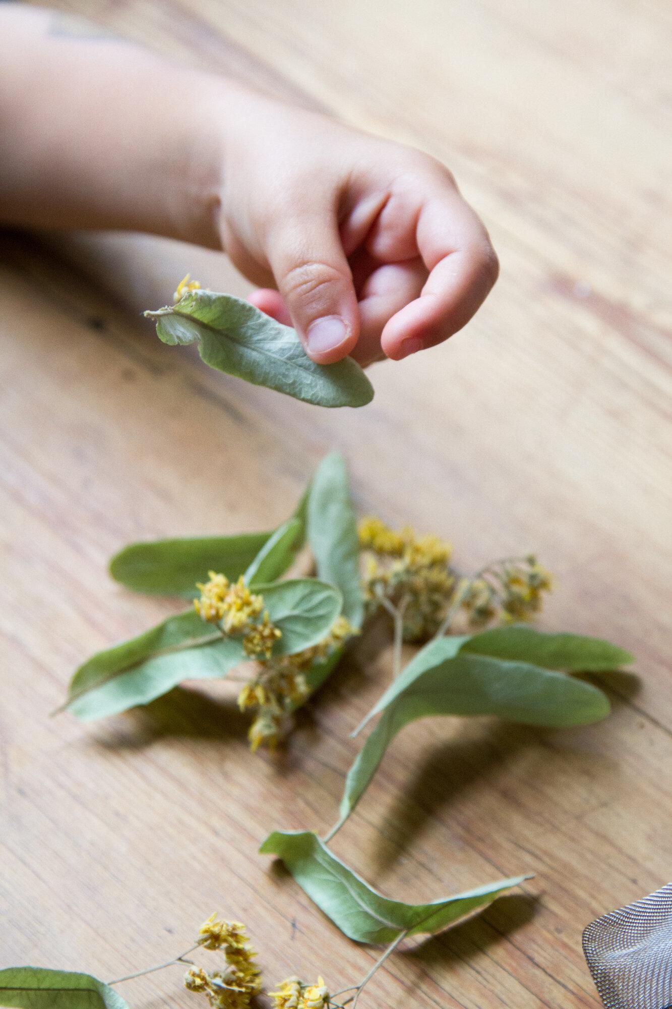 Make Your Own Linden Leaf Tea