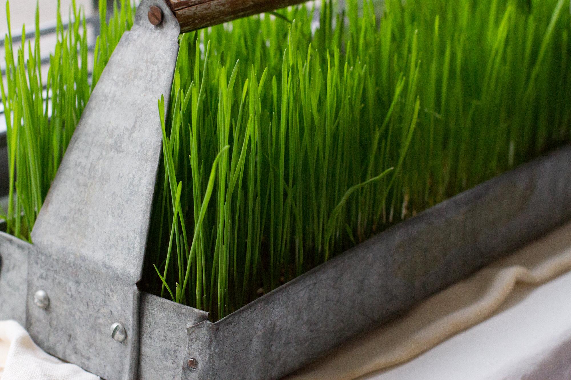 wheatgrass | reading my tea leaves