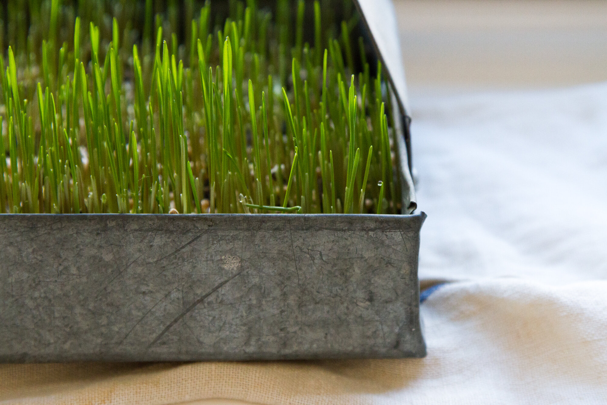 wheat grass | reading my tea leaves