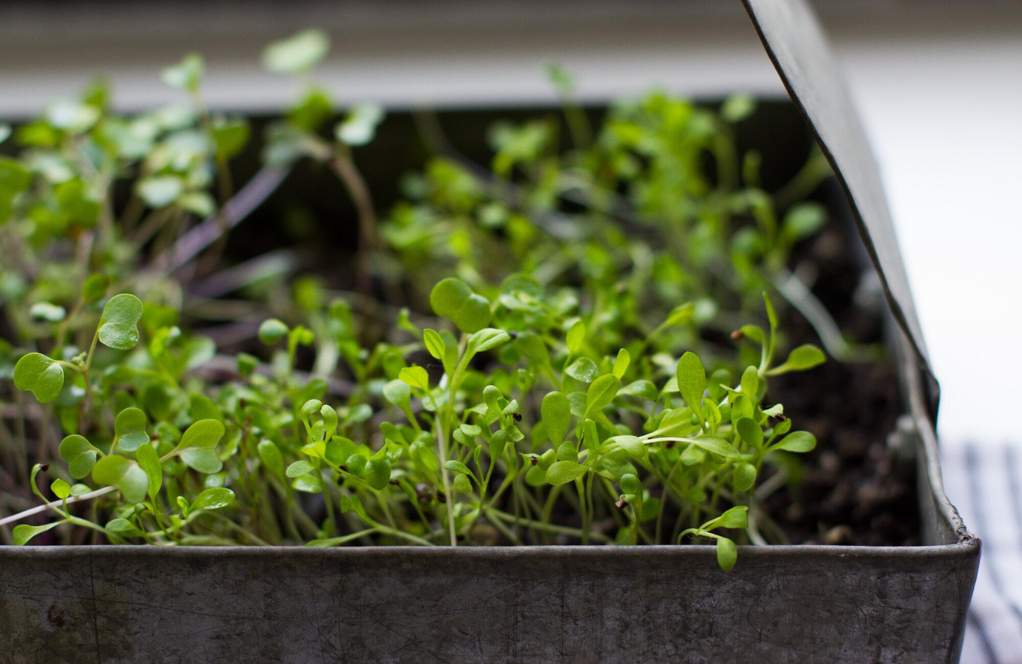 microgreens | reading my tea leaves