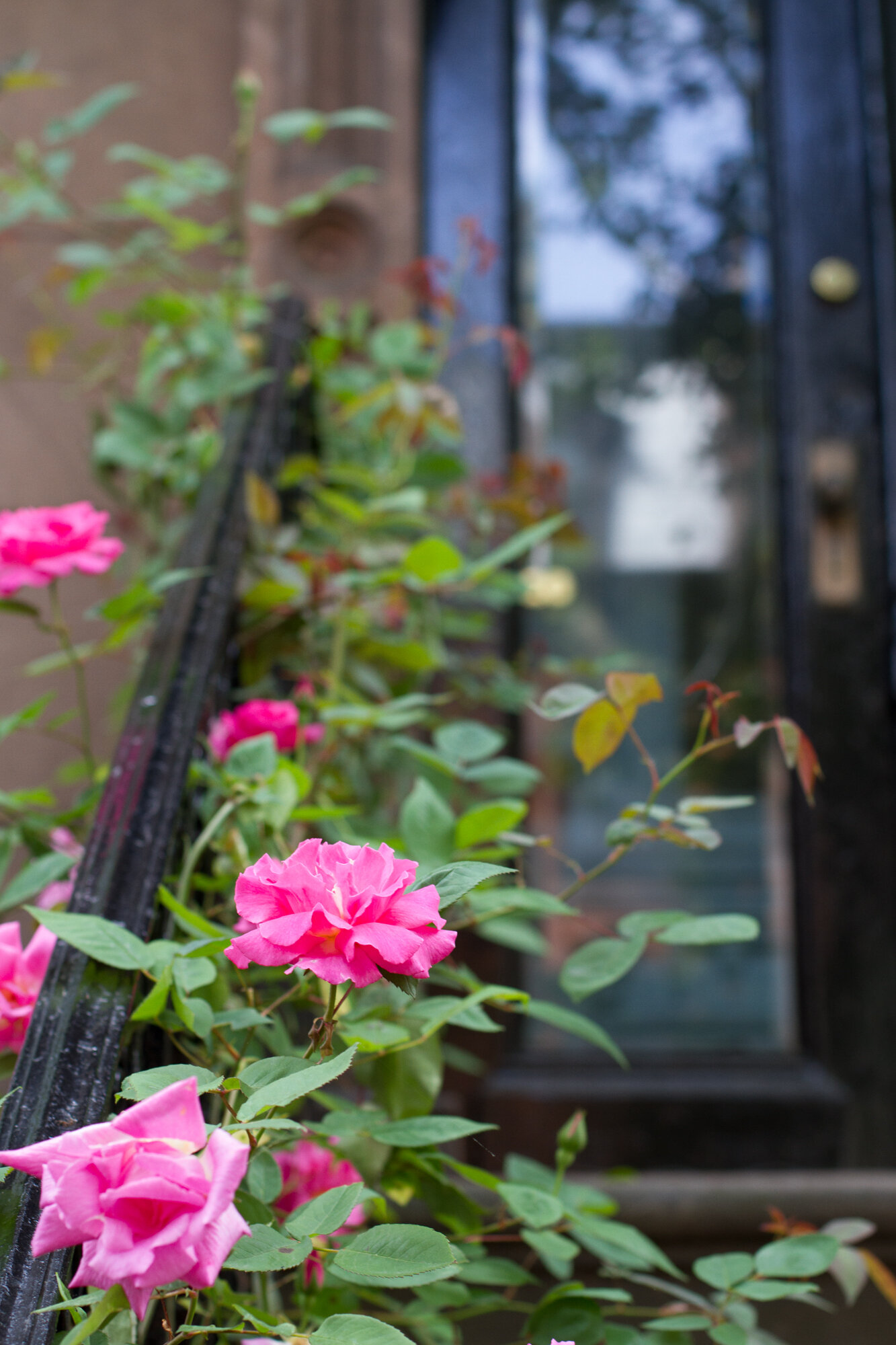 magenta roses on a stoop in brooklyn | reading my tea leaves