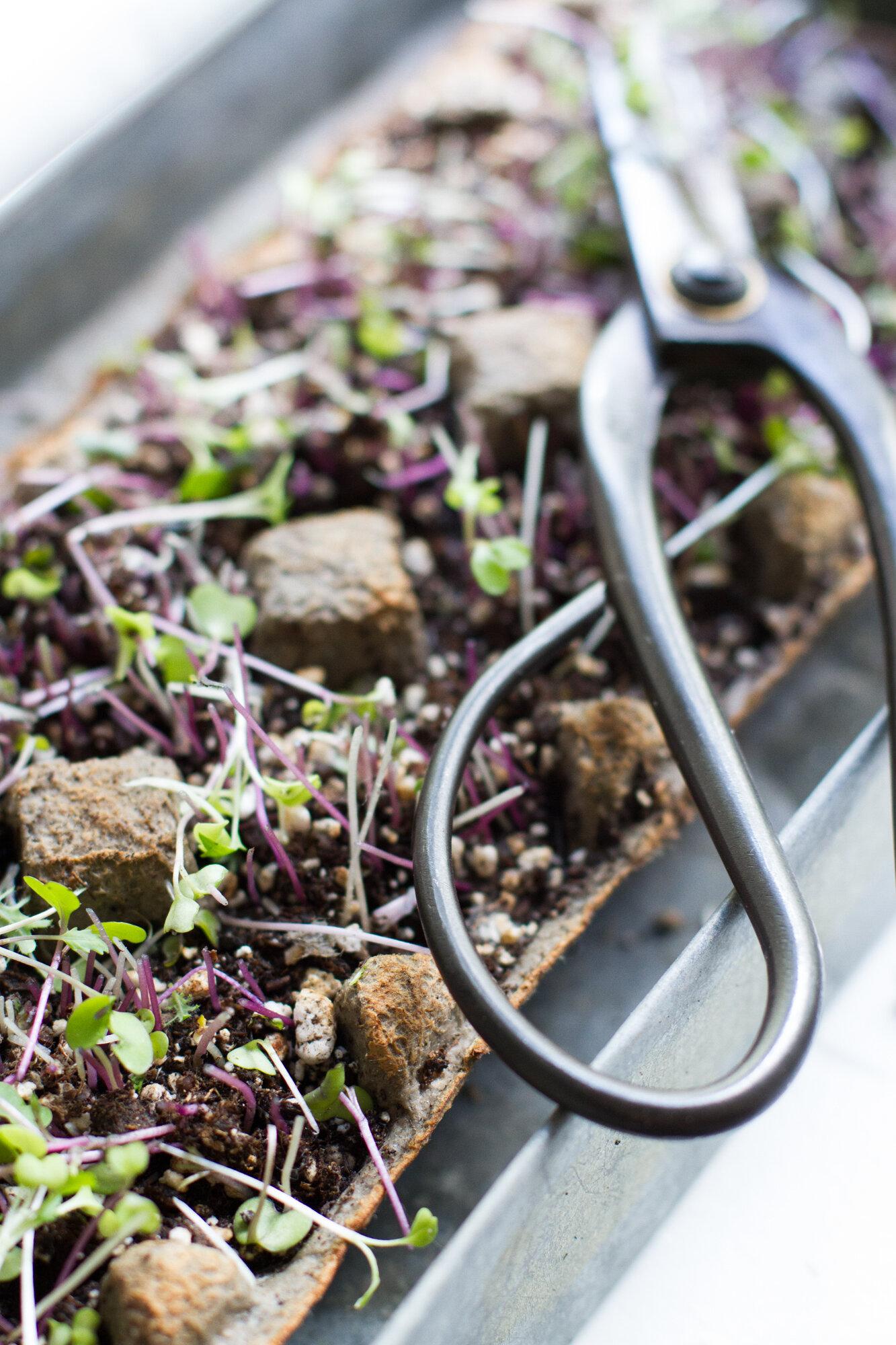 microgreens harvest | reading my tea leaves